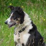 sheperd dog 04