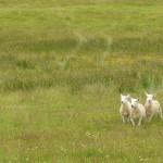 sheperd dog 06